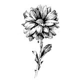 Rose Ink drawing flowers Royalty Free Stock Image