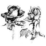 Rose Ink drawing flowers. Rose Ink drawing flower vector illustration and line art. Floral illustration Royalty Free Stock Images