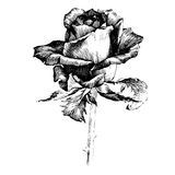 Rose Ink drawing flowers. Rose Ink drawing flower vector illustration and line art. Floral illustration Stock Photography