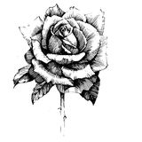 Rose Ink drawing flowers Stock Images