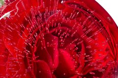 Rose inside an ice. Red rose inside an ice. cold beauty Royalty Free Stock Images