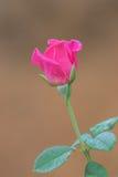 Rose intelligente de floraison Photographie stock libre de droits