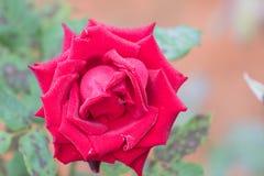 Rose intelligente de floraison Photo libre de droits