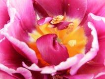Rose intense de tulipe, tulipe jaune prise d'en haut Photos libres de droits