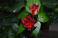 Rose. International women`s day. royalty free stock photos