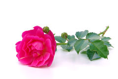 Rose isolated Royalty Free Stock Image