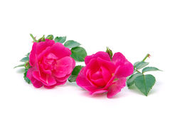 Rose isolated Royalty Free Stock Images
