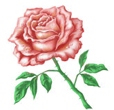 Rose, isolated Stock Photo
