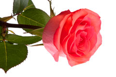Rose, isolated Royalty Free Stock Photography