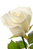 Rose isolated Stock Photos