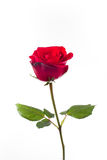 Rose. On isolated background. Give  to darling in valentines day. or send love to marry royalty free stock image