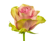 Rose isolated Stock Photography