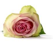 Rose isolated Royalty Free Stock Image