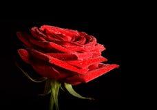 Rose isolated on dark background Stock Photos