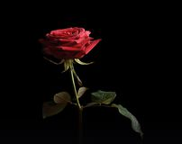 Rose isolated on dark background Royalty Free Stock Photography