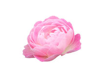 Rose isolated flower pink. On white background Royalty Free Stock Photography