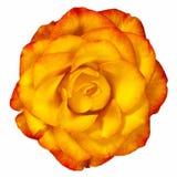 Rose Isolated jaune rougeâtre sur le blanc Photos stock