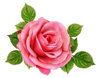 Rose Isolated no branco Imagem de Stock Royalty Free