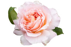 Rose - isolated Stock Image