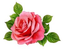 Rose Isolated sur le blanc Photo stock