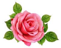 Rose Isolated sur le blanc Image libre de droits