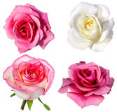 Rose Isolated sur le blanc Images stock