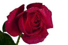 Rose Isolated vermelha Fotografia de Stock Royalty Free