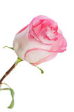 White-pink rose isolated on white background Stock Photography