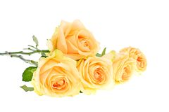 Rose Isolated on White Background Royalty Free Stock Image