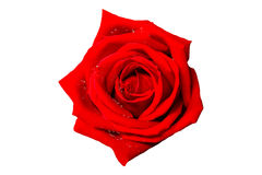 Rose isolated on white background. Red rose isolated on white background Royalty Free Stock Image