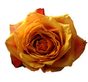 Rose isoleted Lizenzfreies Stockfoto