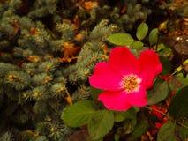 Rose japonaise Photos libres de droits