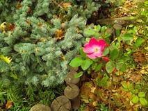 Rose japonaise Photos stock