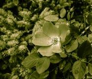 Rose japonaise Photo libre de droits