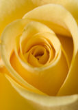 Rose jaune Photo stock
