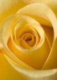 Rose jaune Photo stock