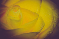 Rose jaune avec des gouttelettes rétros Photographie stock