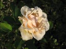 Rose jaune-clair Photos libres de droits