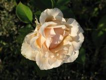 Rose jaune-clair Photographie stock libre de droits