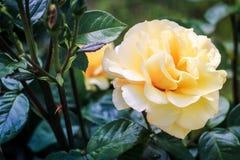 Rose jaune-clair Photo stock
