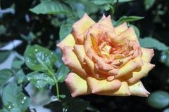 Rose jaune de rougissement photographie stock libre de droits