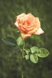 Rose jaune de rougissement image libre de droits