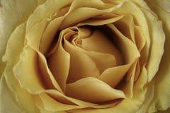 Rose jaune en plan rapproché extrême Photo stock