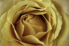 Rose jaune en plan rapproché extrême Images stock