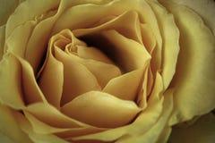 Rose jaune en plan rapproché extrême Images libres de droits
