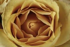 Rose jaune en plan rapproché extrême Photographie stock