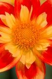 Rose jaune et orange vibrant et le rouge ont coloré le dahlia Image stock