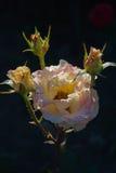 Rose jaune et rose frais et les boutons de rose tous sous la pluie se laisse tomber Image stock