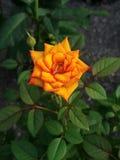 Rose jaune-orange Photographie stock libre de droits