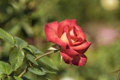 Rose jaune orange rouge Images stock